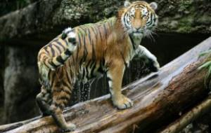 Зоозащитники выделили 1,3 млн на спасение тигров и копытных в Приморье