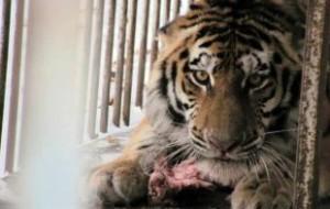 В Тбилиси сбежавший из зоопарка тигр напал на человека