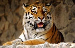 Сбежавшего тигра в Тбилиси ищут спецназ и охотники с собаками