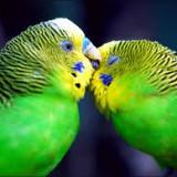 Советы по правильному выбору волнистого попугайчика