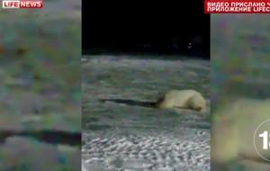 Из-за взорванного на острове Врангеля медведя оштрафуют повара
