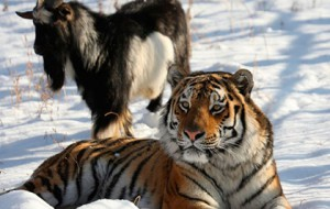 «Россия 24» покажет полнометражку про тигра Амура и козла Тимура