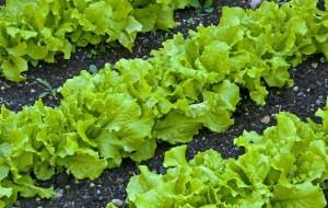Как вырастить латук, используя систему гидропоники