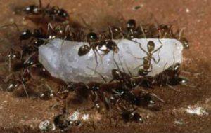 Ученые: муравьи угрожают экологии