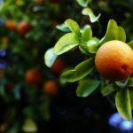 На российском рынке не хватает апельсинов