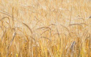 Путин указал на исключительный объем урожая зерновых в 2016 году