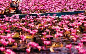В Таиланде расцвели священные лотосы