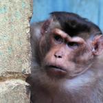 Личные конфликты между приматами оказались полезны для группы