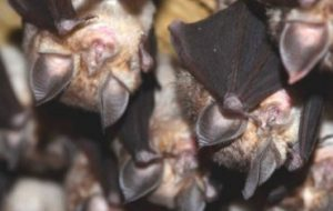 Изменение климата может влиять на жизненный цикл летучих мышей