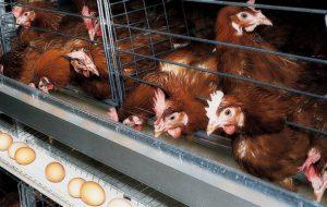 Выращивание кур в специальных клетках