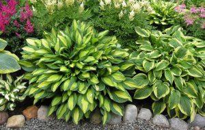 Хоста — выращивание и уход