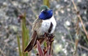 Новый вид горных колибри находится на грани вымирания