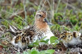 Орнитологи МГУ: Глобальное потепление приводит к снижению численности куликов