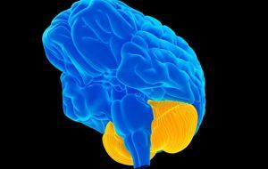 Учёные исследовали, как именно связаны мозжечок и социальное поведение