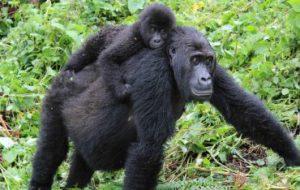 Восточная равнинная горилла утратила свое генетическое разнообразие всего за несколько поколений