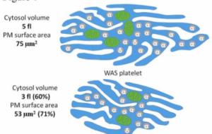 Ученые раскрыли молекулярный механизм редкой генетической болезни