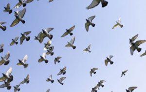 Исследование: как птицы в стае решают, куда лететь
