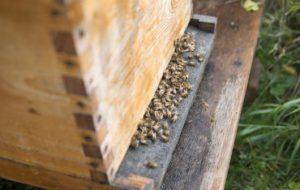 Пробиотики могут защитить медоносных пчел от смертельных заболеваний