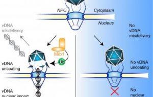 Найден белок, который дает «зеленый свет» вирусной инфекции