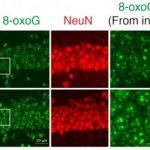 Найден фермент против старения нейронов у мышей