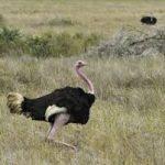 Пешком из Африки и обратно: история происхождения страусов