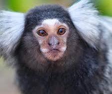 Ученые выяснили, что обезьяны способны к самоодомашниванию