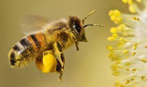 Пчелы узнают сородичей по кишечным бактериям