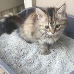 Приучение котенка к лотку – основные правила
