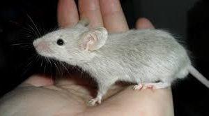Ученые определили соединение, которое стимулирует мышечные клетки у мышей