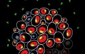 Почему генетически идентичные клетки по-разному ведут себя в условиях стресса?