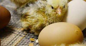 Дезинфекция яиц позволит снизить дозу антибиотиков при выращивании цыплят