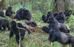 Болеющие гориллы держат «социальную дистанцию» с соседними группами